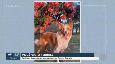 Família procura por cachorro que sumiu em Campo Grande - Tobias, da raça border colie, fugiu durante essa semana