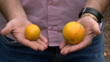 Seca prejudica safra da laranja no Centro-Sul - Em São Paulo e Minas Gerais, frutos estão nascendo pequenos e caindo secos do pé.