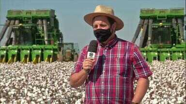 Agricultores de Mato Grosso começam a colher algodão e expectativa é de safra menor - A estiagem atrasou o plantio e a colheita da soja está afetando as culturas de inverno.