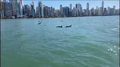 Mais de 50 golfinhos são vistos em Balneário Camboriú nadando juntos - Mais de 50 golfinhos são vistos em Balneário Camboriú nadando juntos