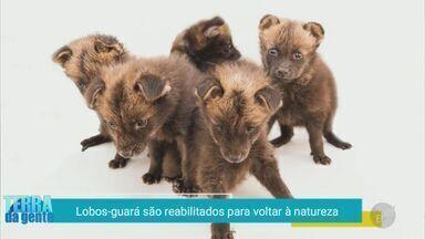 'Terra da Gente': filhotes de lobo-guará são reabilitados para voltarem à natureza - Confira destaques do programa que vai ao ar nas tardes de sábado.