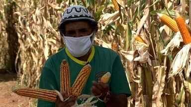 Produtores de Poço das Trincheiras participam de dia de campo - Agricultores tiveram acesso a informações sobre plantio e colheita de milho.