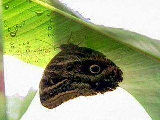 Globo Natureza: borboleta-olho-de-coruja