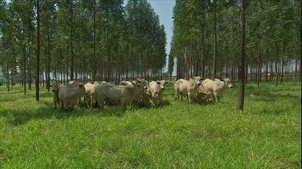 Eucalipto oferece muitos benefícios para integração lavoura, pecuária e floresta
