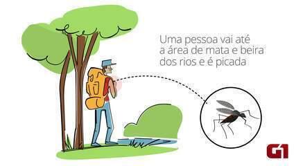 Entenda o ciclo de transmissão da febre amarela silvestre
