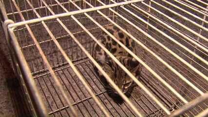 Polícia Ambiental captura gato-do-mato em casa no Núcleo Rio Verde, em Ponta Grossa