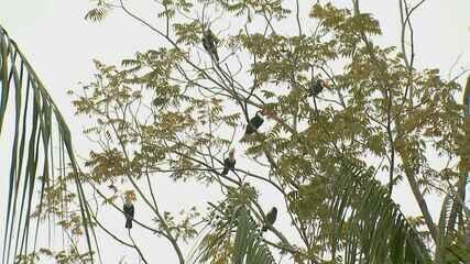 Tucanos viram atração em residência de Tapiratiba, SP