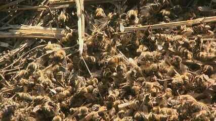 Pela terceira vez em nove meses, milhares de abelhas morrem em apiário de Araras, SP