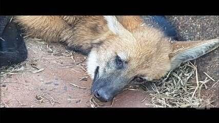 Equipe do Zoológico de Bauru resgata lobo-guará atropelado em rodovia