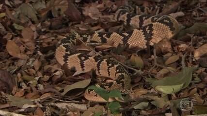 Médico tenta salvar da extinção uma das cobras mais venenosas do Brasil