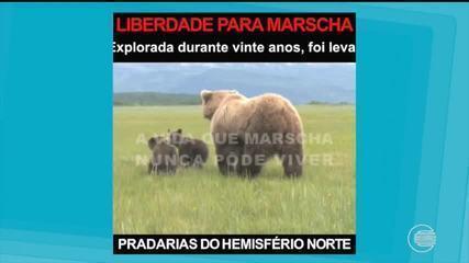 Petição online pede transferência de ursa do Zoobotânico por conta do calor