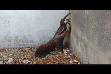 Tamanduá bandeira é capturado em terreno baldio em Uberlândia