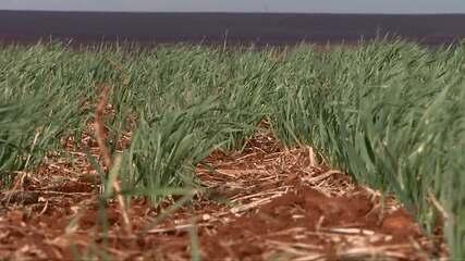 Agricultores plantaram 35% da safra total de trigo prevista no Paraná