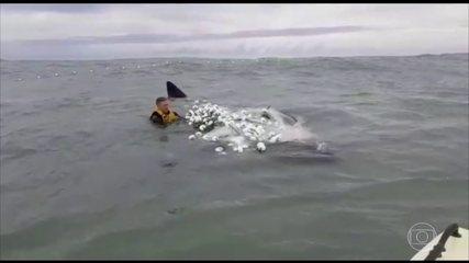 Surfista salva filhote de baleia-franca de rede de pesca, no litoral de Santa Catarina