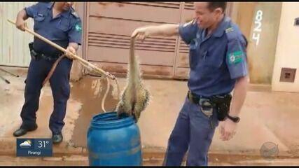 Porco espinho é capturado por guardas civis dentro de casa em Guaíra, SP