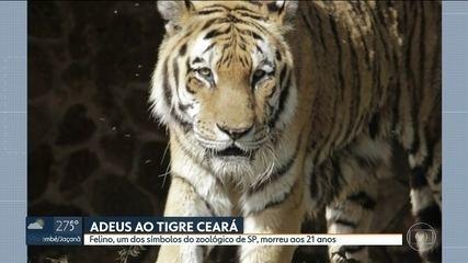 Símbolo do zoológico de SP, tigre Ceará morre aos 21 anos