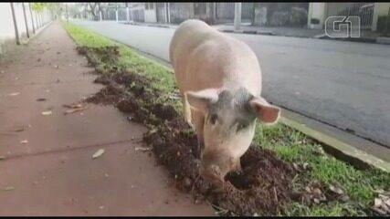 Moradora registra porco cavando canteiro de jardim na Zona Noroeste.
