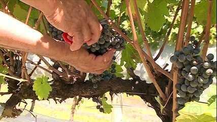 Começa colheita da uva para vinho em Santa Catarina