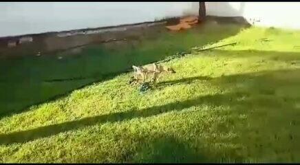 Cachorrinho Amarelinho se locomove facilmente com cadeira de rodas improvisada em AL