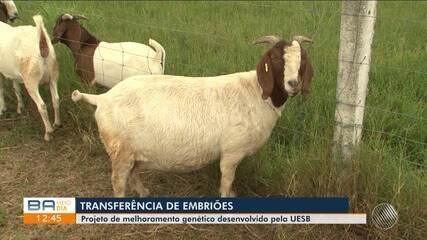 Pesquisa feita na Uesb estuda o melhoramento genético em caprinos