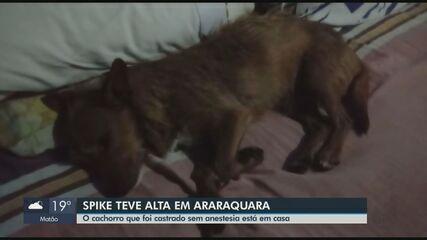 Cachorro castrado com canivete e sem anestesia em Araraquara tem alta