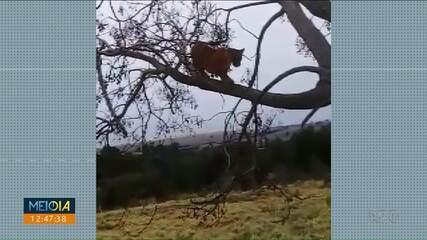 Onças são flagradas em árvore em Cafezal do Sul