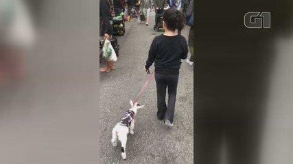 Família adota cabrita como pet e passeiam com ela pelas ruas de Santos (SP)