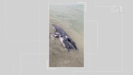 Vídeo: baleia é encontrada morta na praia de Platafoma, em Salvador