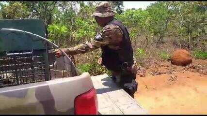 Lobo-guará resgatado em área urbana do DF é solto no Parque Nacional de Brasília