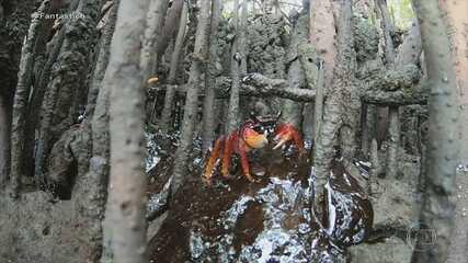 Fantástico mostra luta de voluntários para recolher manchas de óleo de manguezais