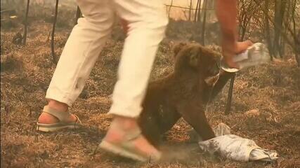 Morre coala resgatado em incêndio na Austrália