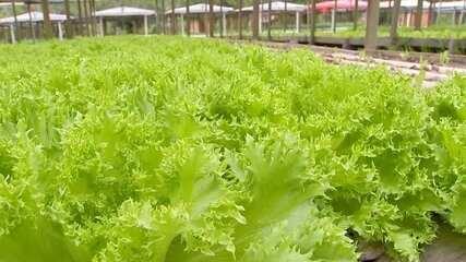 Produtor investe em variedades de alface que suportam mais o calor