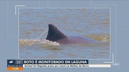 Boto é flagrado preso por anzol em praia de Laguna