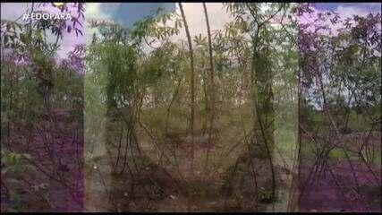 Saiba como é feito a produção de mandioca e farinha na zona rural de Pau D'arco (PA)