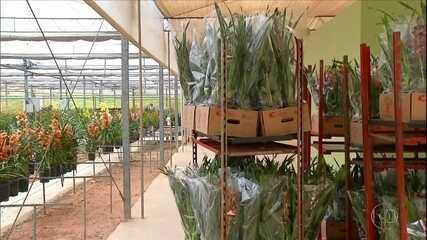 Produtores de flores amargam prejuízo de pelo menos R$ 300 milhões por conta da pandemia