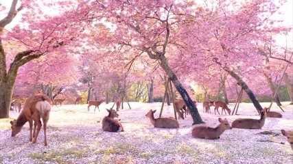 Cerejeiras florescem no Japão, mas não podem ser vistas por causa da pandemia