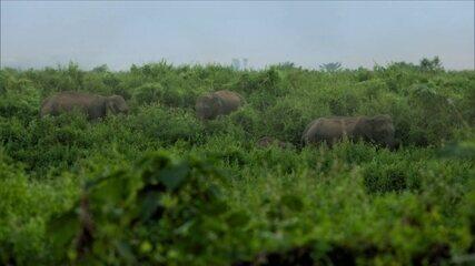 Tradição de risco: o que fazer quando elefantes se juntam para invadir um vilarejo?