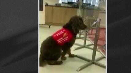 Cientistas do Reino Unido treinam cachorros para farejar o coronavírus