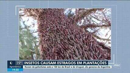 Nuvem de gafanhotos na Argentina deixa produtores e autoridades de SC em alerta