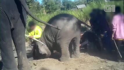 Imagens mostram treinamento 'abusivo' de elefantes na Tailândia