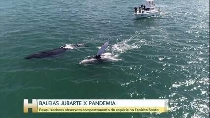 Pesquisadores observam comportamento das baleias jubarte com a diminuição de barcos no mar