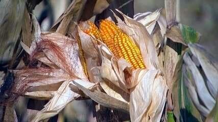 Clima atrapalha segunda safra do milho no centro-oeste paulista