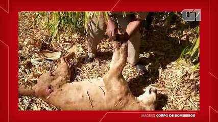 Onça-parda é encontrada morta com marca de tiro em Rancharia