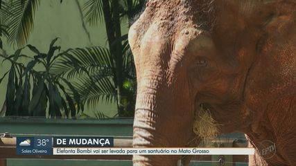 Elefanta Bambi deve ser levada de Ribeirão para santuário no Mato Grosso na terça-feira (2
