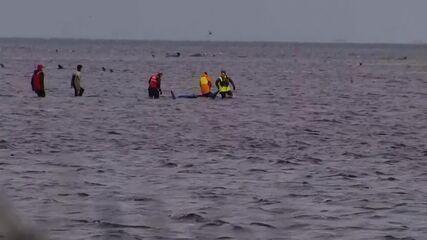Ao menos 380 baleias morrem encalhadas no sul da Austrália