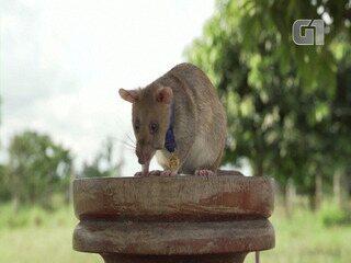 Rato farejador de minas terrestres ganha prêmio de bravura animal no Reino Unido