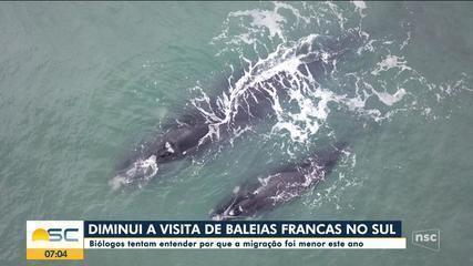 Menos baleias-francas visitaram litoral sul do país em 2020, dizem pesquisadores