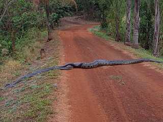 Sucuri de mais de 5 metros cruza estrada em Ituverava (SP) e é seguida pelos machos