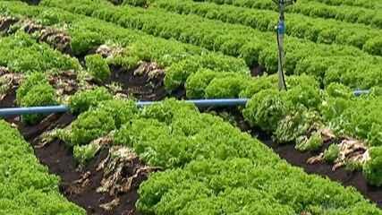 Calor afeta produção de hortaliças no Alto Tietê