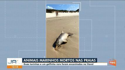 Duas toninhas e golfinho são encontrados mortos no litoral catarinense